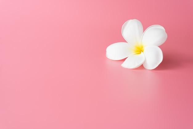 Belle fleur de plumeria blanche rose