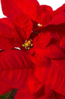 Belle fleur de poinsettia (euphorbia pulcherrima).