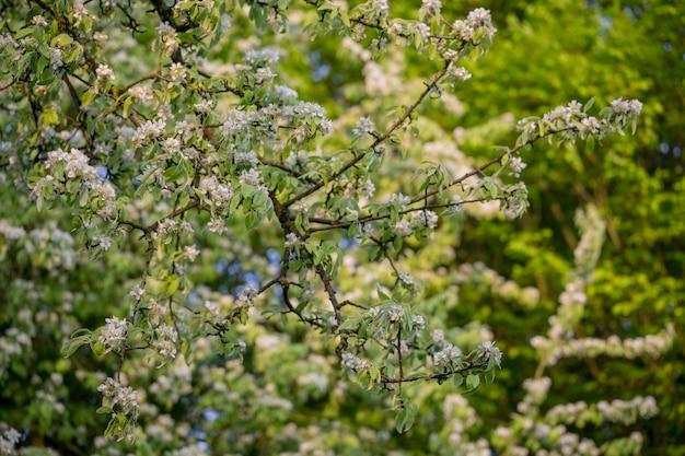 Belle fleur de pommier