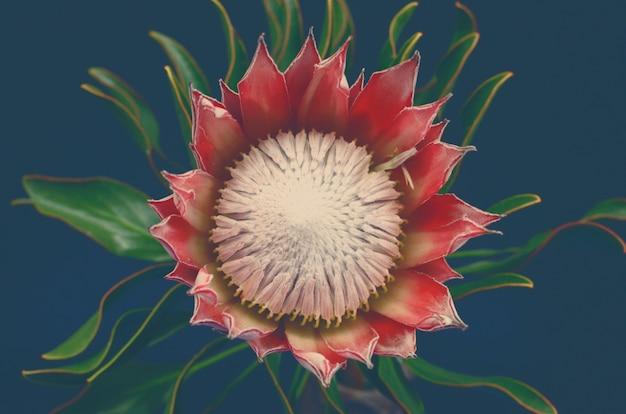 Belle fleur de protea pour le fond
