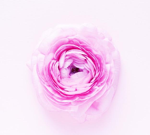 Belle fleur de renoncule rose sur fond rose.