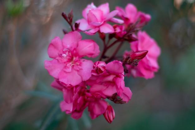 Belle fleur rose avec un arrière-plan flou
