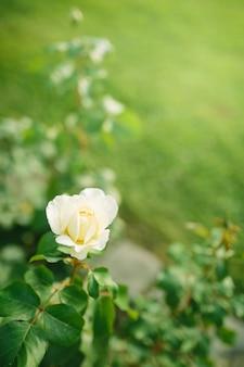 Belle fleur rose blanche gros plan qui fleurit sur bush dans le jardin coucher de soleil