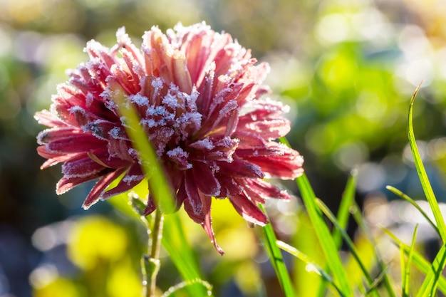 Belle fleur rose gelée fin de l'automne le matin