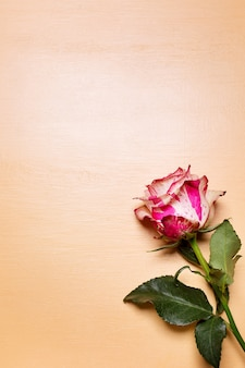 Belle fleur rose rose et blanche sur fond pastel beige, concept de la saint-valentin