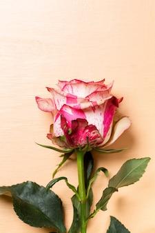 Belle fleur rose rose et blanche sur pastel beige
