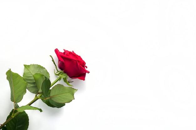 Belle fleur rose rouge avec tige isolée