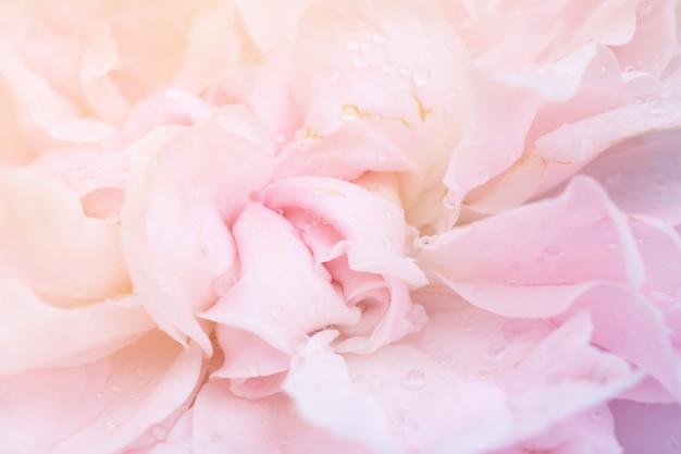 Belle fleur de roses roses bouchent abstrait