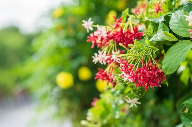Belle fleur rouge combretum indicum dans jardin