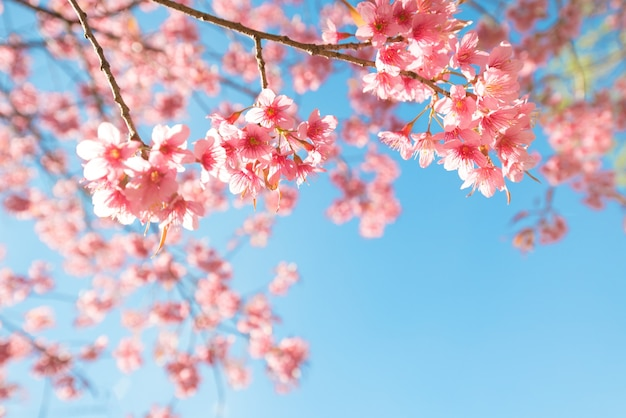 Belle fleur de sakura (fleur de cerisier) au printemps. fleur de sakura sur le ciel bleu.