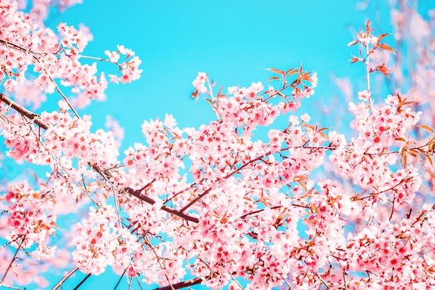 Belle fleur de sakura rose qui fleurit sur fond de ciel bleu faible profondeur de champ