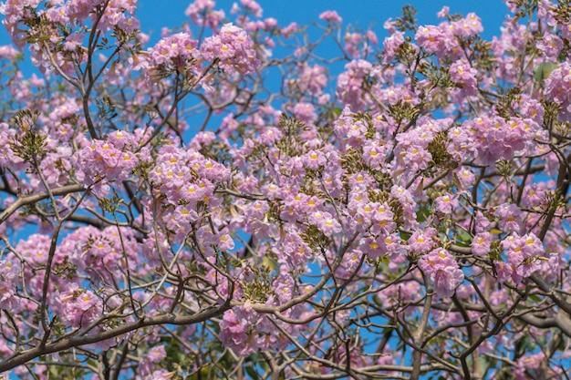 Belle fleur de tabebuia rosea qui fleurit au printemps