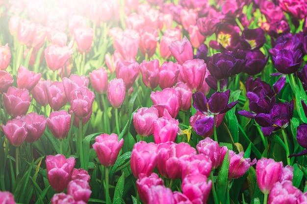 Belle fleur de tulipes roses et violettes dans le jardin,
