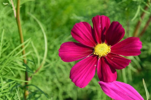 Belle fleur de zinnia dans le jardin.