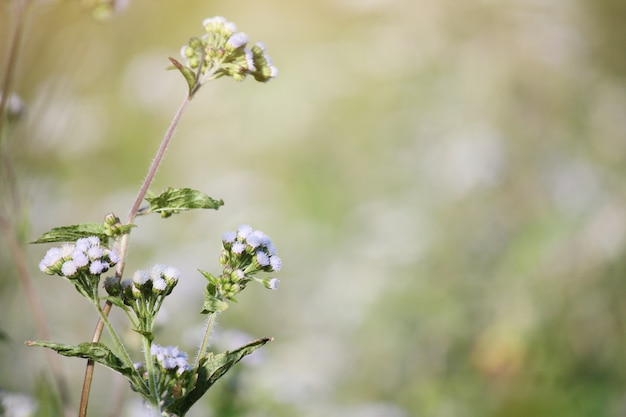 Belle floraison de champs de fleurs sauvages blanches au printemps et de lumière naturelle brillante
