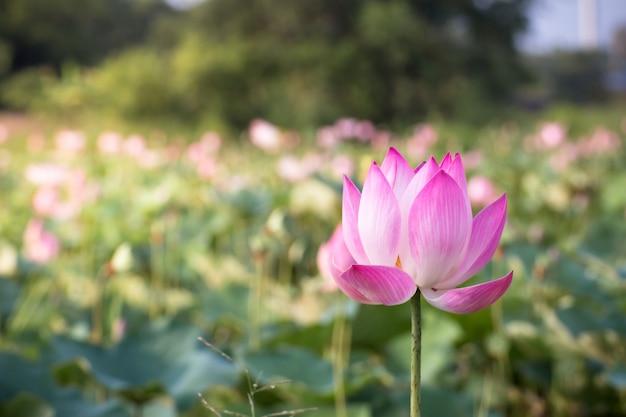 Belle floraison de lotus rose dans la nature de la piscine, fleur de fleur d'eau de lys