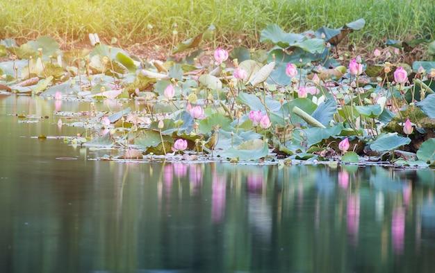 Belle floraison de lotus rose dans la piscine, fleur de lys, fleur