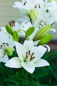 Belle floraison de lys blanc dans le jardin. jardinage d'ornement.