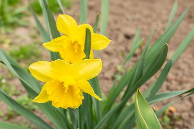 La belle floraison printanière d'un narcisse