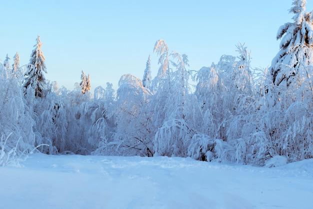 Belle forêt enneigée d'hiver avec des arbres couverts de givre sur un début de soirée clair et ensoleillé