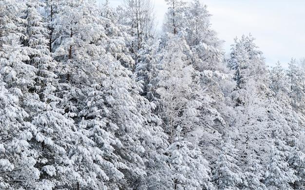 Belle forêt enneigée d'hiver avec des arbres couverts de neige un mystère de conte de fées