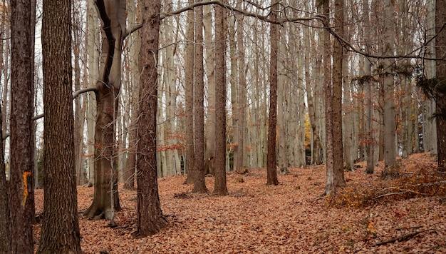 Belle forêt de hêtres à l'automne