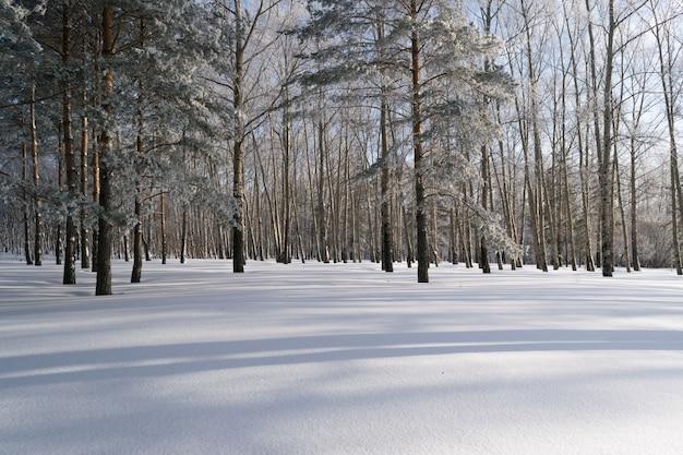 Belle forêt d'hiver avec de la neige en journée ensoleillée