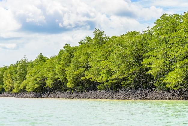Belle forêt de mangroves tropicales en thaïlande