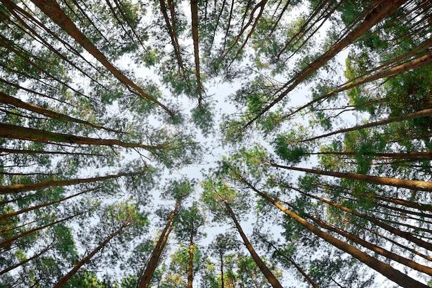 Belle forêt de pins à doi inthanon, chiang mai, thaïlande.