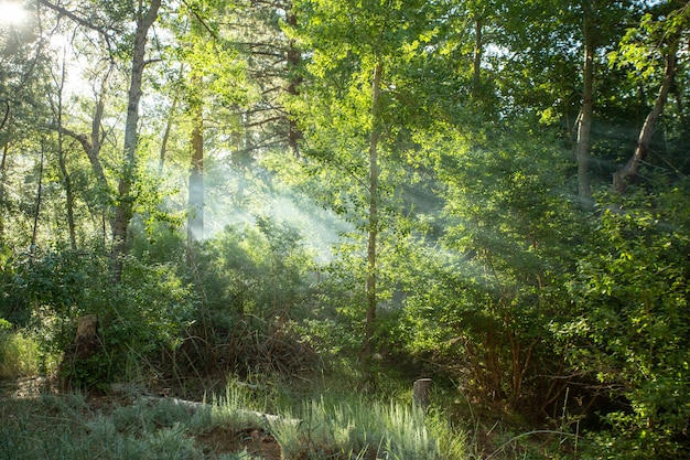 Belle forêt avec des rayons du soleil