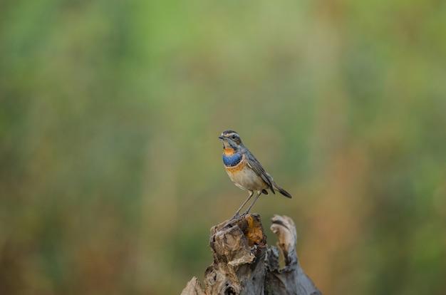 Belle gorge bleue mâle (luscinia svecica)