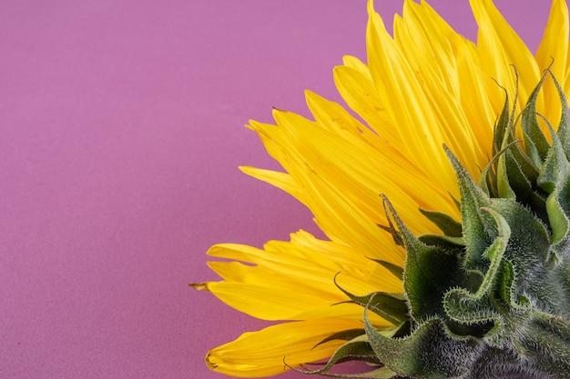 Belle grande fleur de tournesol jaune