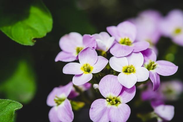 Belle grappe de gros plan de hesperis violet en macro.