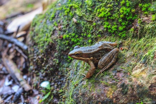 Belle grenouille à face sombre en forêt