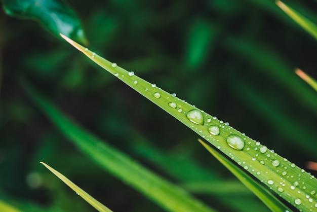 Belle herbe verte brillante vive avec des gouttes de rosée close-up avec copie espace. verdure pure, agréable et agréable avec des gouttes de pluie au soleil en macro.