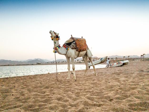 Belle image de chameau blanc avec selle décorée debout sur le sable au bord de la mer