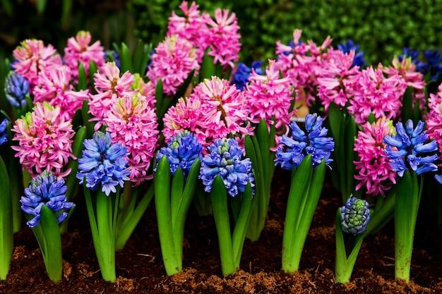 Belle jacinthes fleur et feuille dans le sol