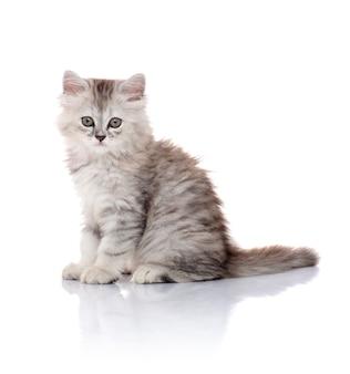 Belle jeune chaton à fourrure isolé sur blanc