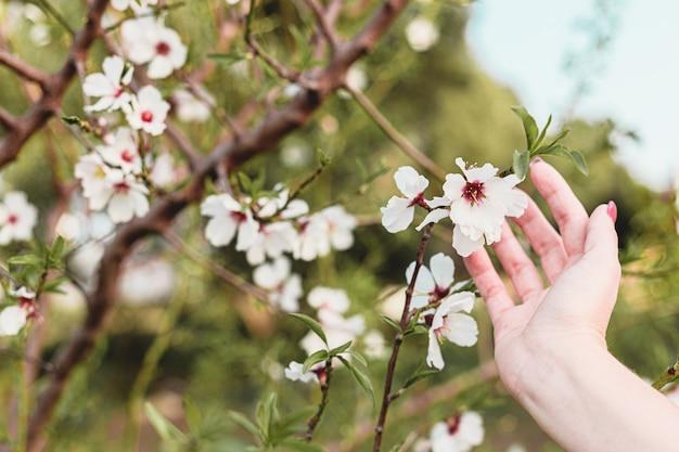 Belle jeune femme mains autour des fleurs d'amandier dans l'arbre avec un fond vert de feuilles et de branches au printemps