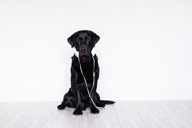 Belle labrador noir à la maison en écoutant de la musique sur le casque