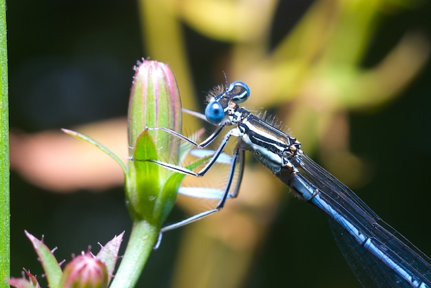 Belle libellule dans la nature, gros plan macro