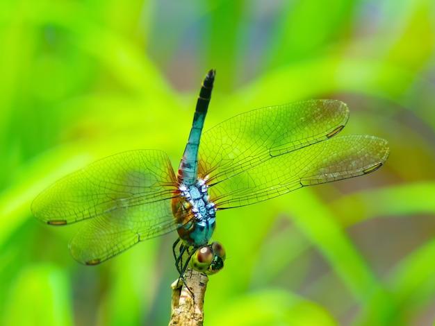 Belle libellule (sauterelle).