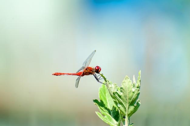 Belle libellule (sympetrum sanguineum) assis sur une branche pointue