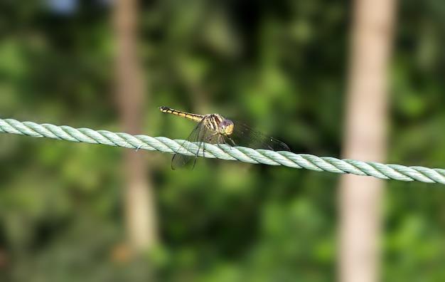 Belle libellule tachetée jaune et noire se reposant sur une corde verte de corde à linge