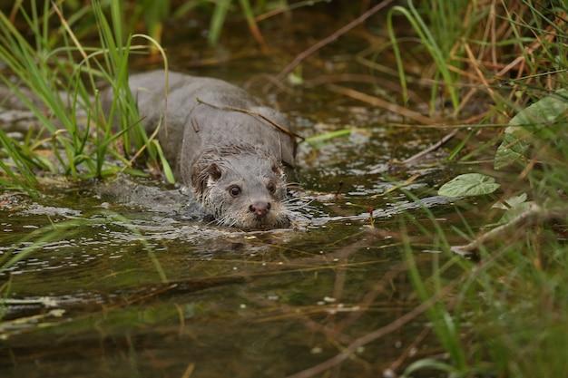 Belle et ludique loutre de rivière dans l'habitat naturel en république tchèque lutra lutra