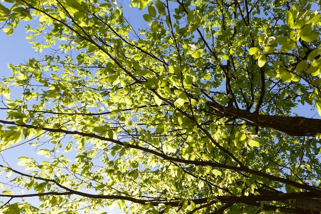 Belle lumière verte lumière du soleil vert allumé les feuilles sur les branches des arbres à l'automne