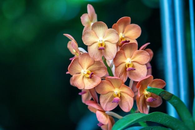 Belle mise au point sélective orchidée rhynchostylis gigantea.