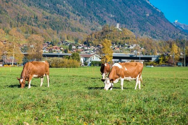 Belle montagne des alpes et du bétail et à l'automne dans le canton d'interlaken, suisse
