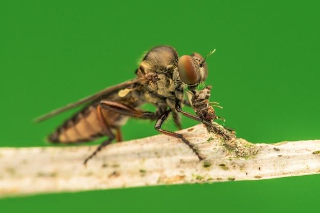 Belle mouche voleuse (asilidae) manger macro nature insecte
