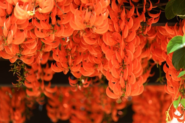 Belle nouvelle plante grimpante de guinée ou de vigne rouge lade